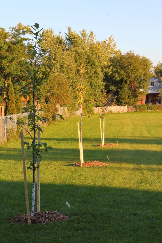 Karen Watson continues to beautify Fergus parks.  This year she donated a Sugar Maple, a Red Oak and an Autumn Blaze Maple to grace Strathallan Park, Fergus.