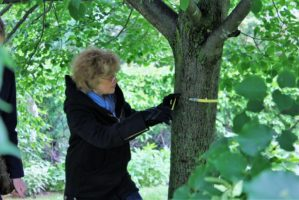 tree inventory volunteer measuring circumference of a trunk