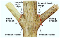 6. The Branch Collar