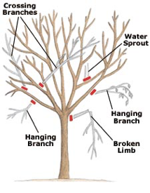 diagram of things to watchout for while pruning: hanging branch, broken limb, water sprout, crossing branches
