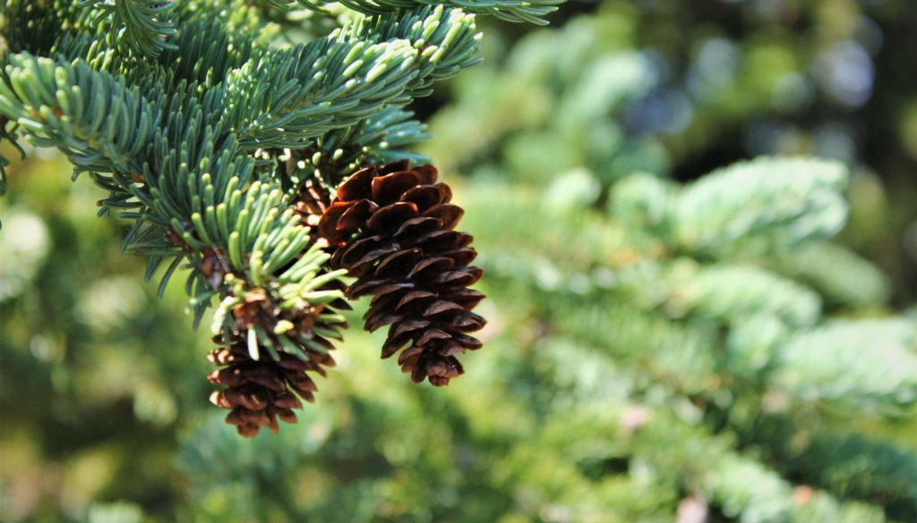close up of pinecones, surrounded by forest