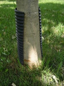 black plastic plumbing pipe used as an ineffective tree guard