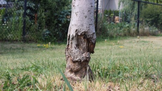 tree trunk with large holes of bark stripped