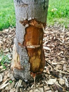 tree with large chunks of bark stripped from the trunk