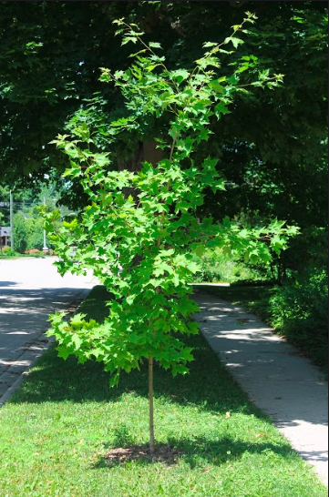 young tree on a boulevard