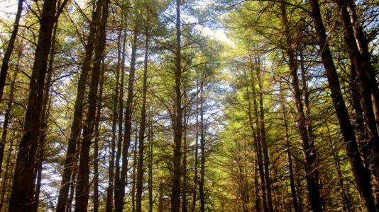 forest shot of tree tops