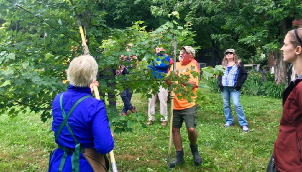 group of citizen pruner volunteers, pruning a tree