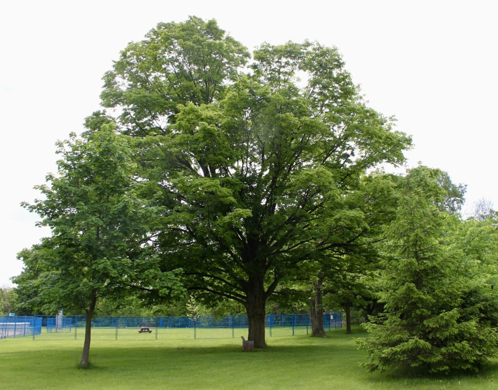 First historic Sugar Maple stewarded by Tree Trust.  Coordinates: (43.682249, -80.436751)