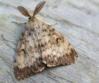 19857338_web1_adult_male_gypsy_moth